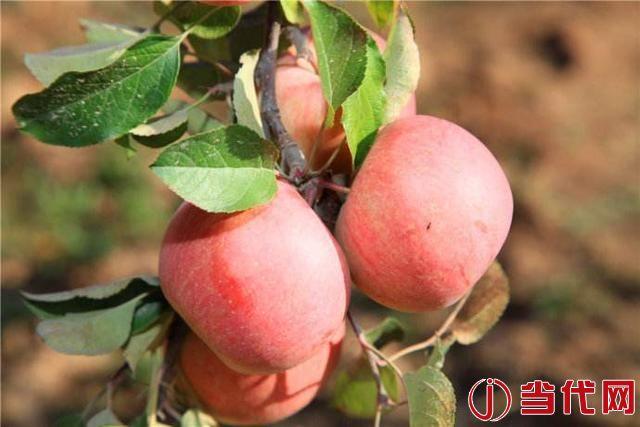蘋果期瘋狂背后是憂傷的果農:未來1年難有收入