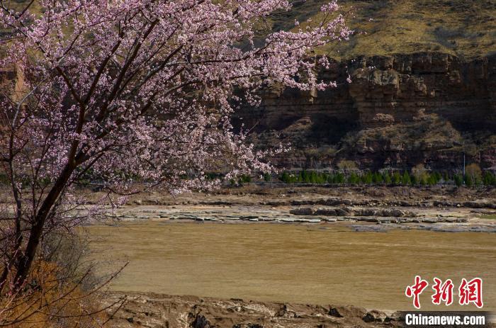 图为壶口岸边的山桃花盛开。 兰华 摄